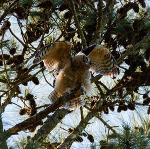 Owlet Testing His Wings