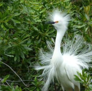 """Snowy Egret having a bad hair day"