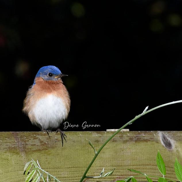 Bluebird with an attitude