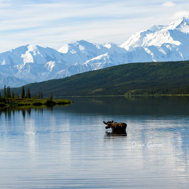 """Iconic Moose and Mt. Denali Picture"""
