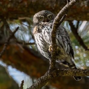 Northern Pygmy-Owl