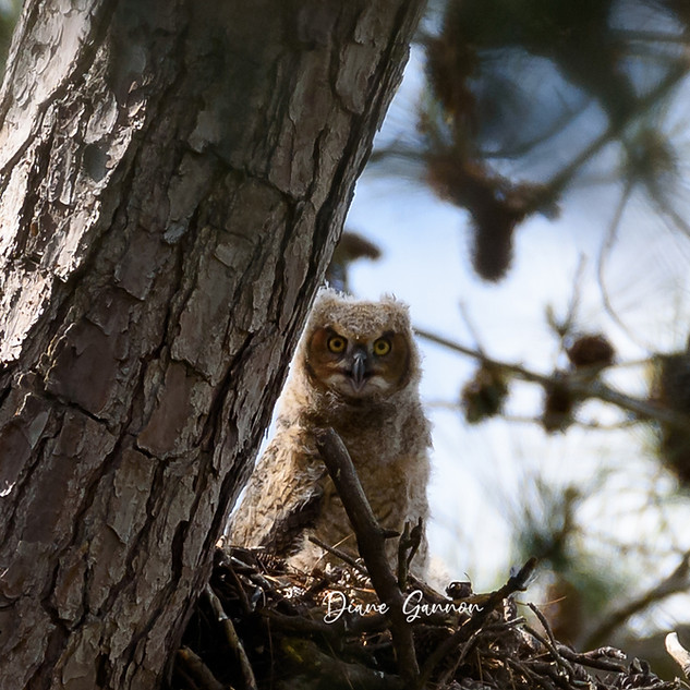 Great Horned Owl Chick