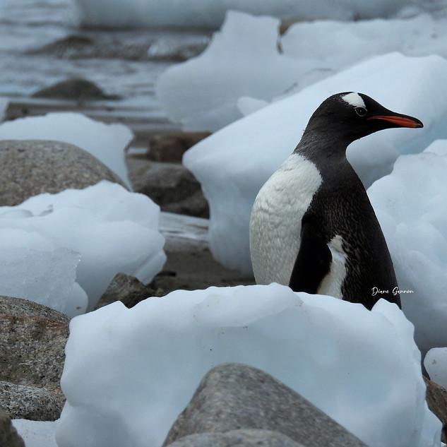Gentoo Penguin