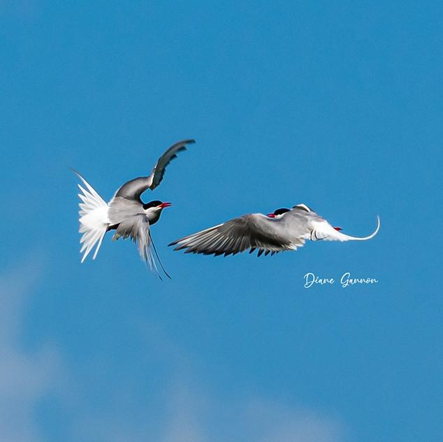 """""""Arctic Tern Dispute"""""""