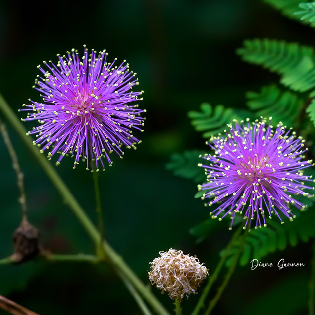 Mimosa Quadrivalvis