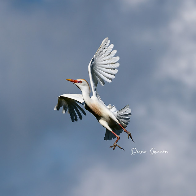 Graceful Cattle Egret