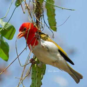 Red-headed Weaver