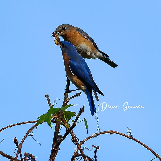 Bluebird Sharing