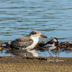 African Skimmer and Lapwing