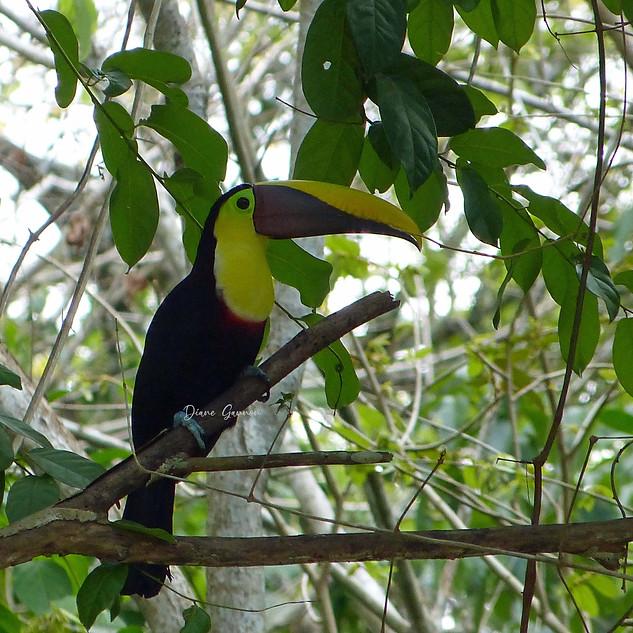 Black Mandible Toucan