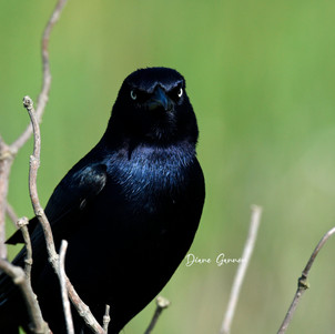 """""""Angry Bird"""" (Boat-tailed Grackle)"""