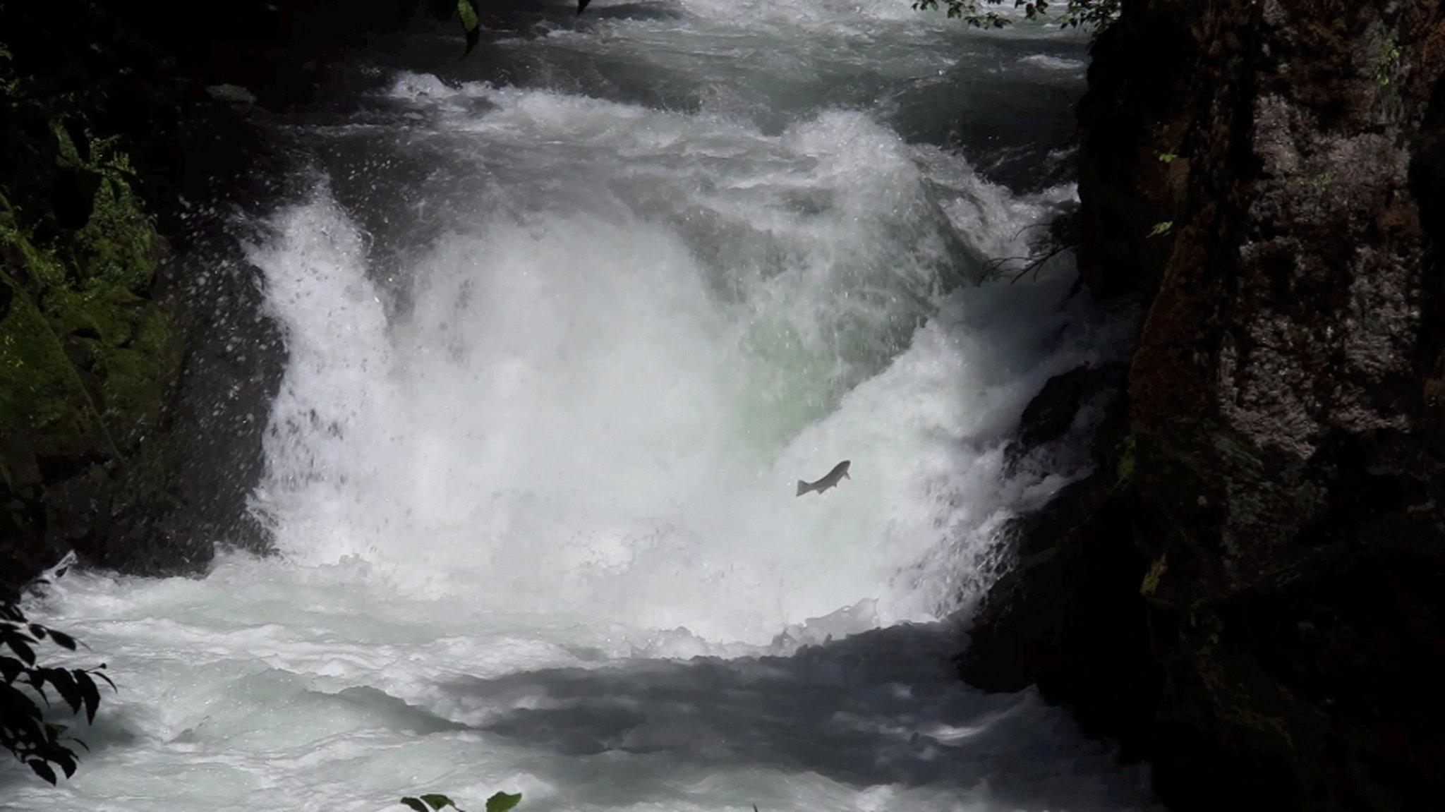 steelheadbz-falls-white-salmon-basinjpg-ccf27bb861739b4d[1]