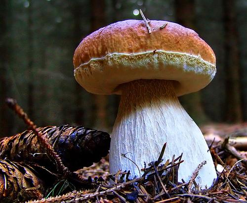 mushroom_bolete