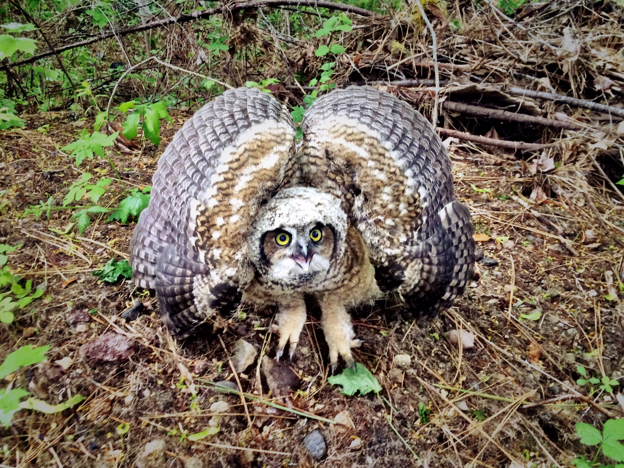 Northern Hawk Owl in Trout Lake, WA