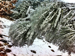 Frost on Mountain Trees