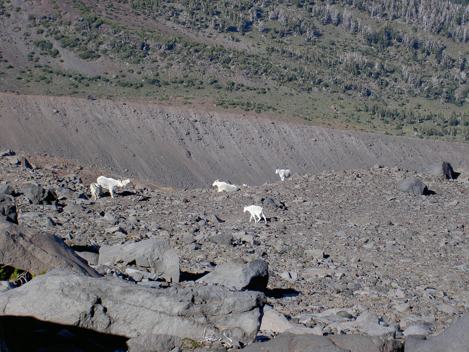 Mountain Goats on Mt. Adams