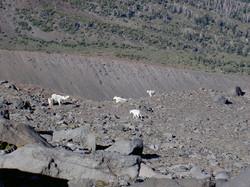 Mountain Goats on Mt. Adams