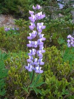 Mount Adams Wild Flowers