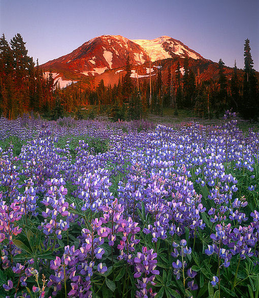 mount+adams+wild+flowers