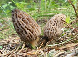 mushroom_morels