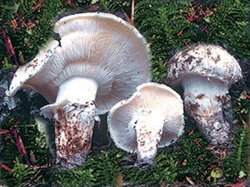 mushroom_matsutake