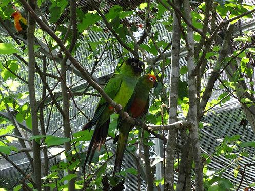 Conure Parrot Sponsorship (Annual)