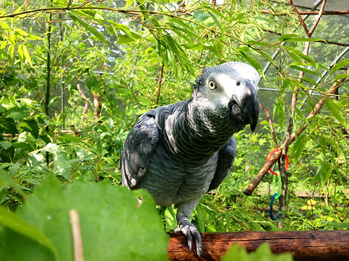 African Grey Parrot (Annual)