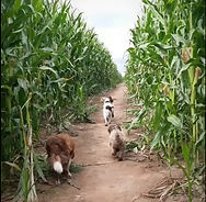 Field of maize.jpg