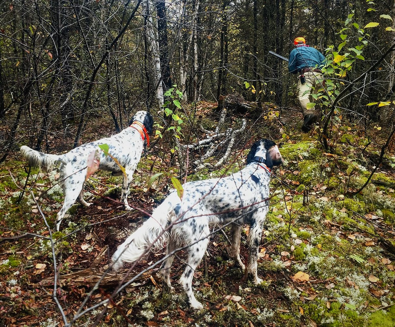 Northwind English Setters Grouse Dogs