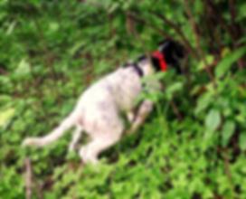 Northwind Setter grouse dog
