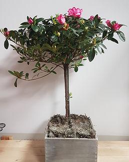 Azalea Tree.jpg