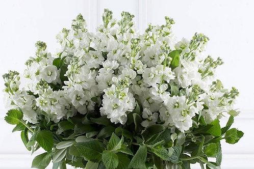 Matthiola  Bouquet       Other colours available