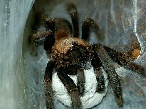 """Orphnaecus sp. Cebu small .5"""""""