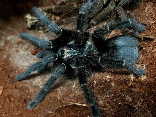 "Phormictopus sp. full green 1.5"""