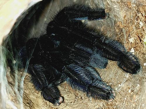 """Phormingochilus arboricola 3"""" ♂"""