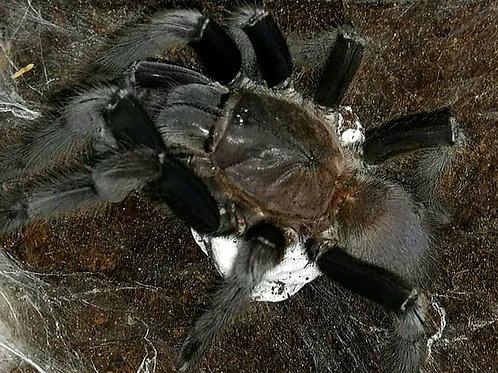 """Chilobrachys sp. Kaeng Krachan 1.5"""""""