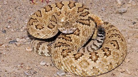 Rattlesnake 1.jpg