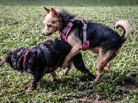 Mounting Behavior in Dogs (Sex, Dominance, Stress...or something else?)