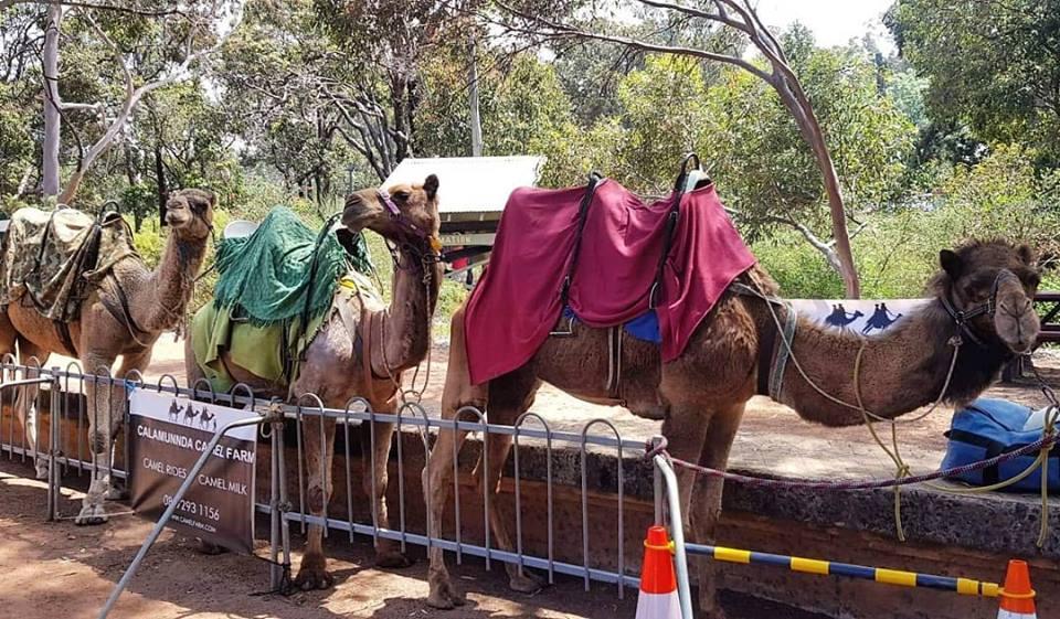Kalbarri_Calamunda_Camels (3)