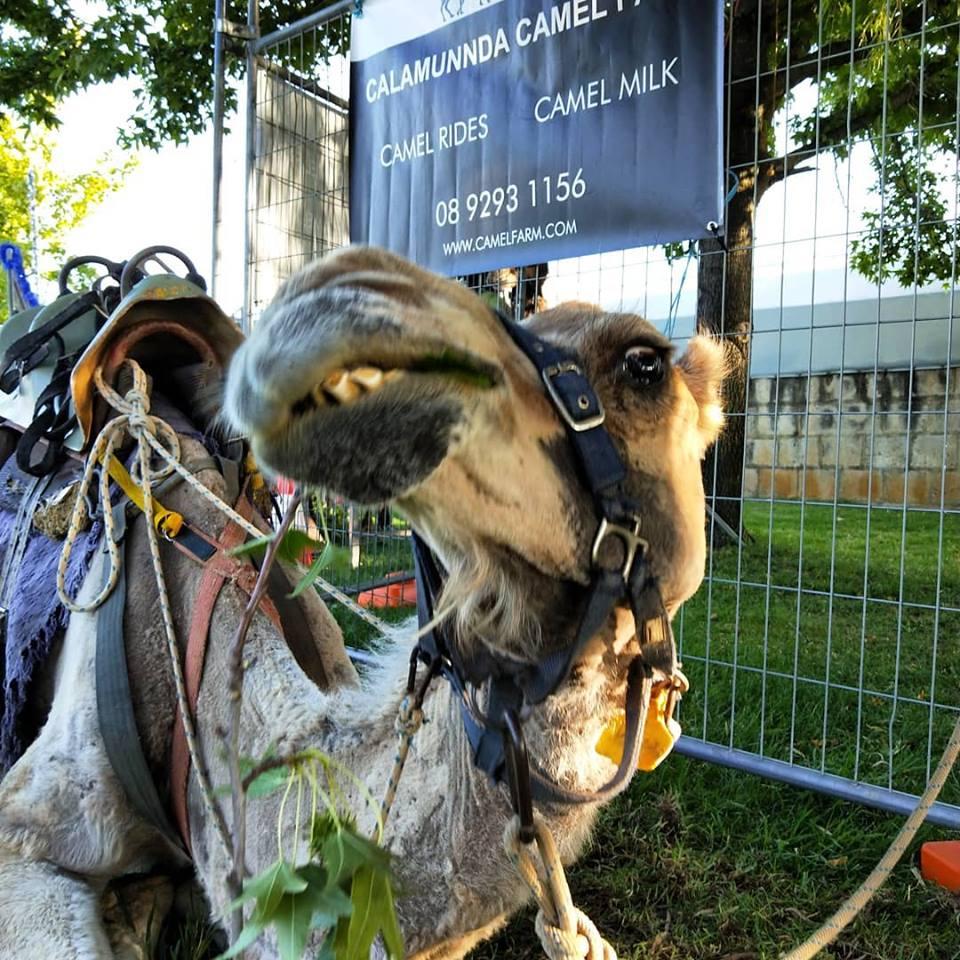 Kalbarri_Calamunda_Camels (8)