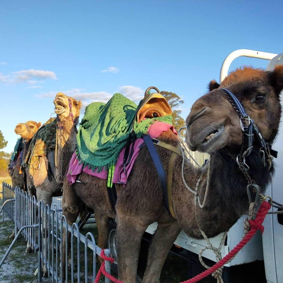 Kalbarri_Calamunda_Camels (1)