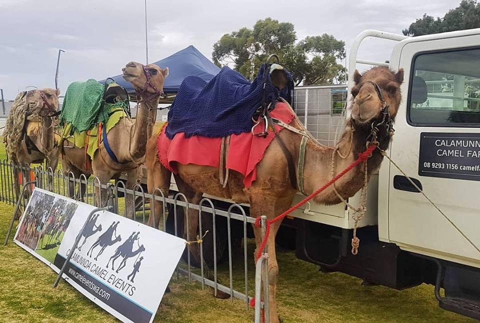 Kalbarri_Calamunda_Camels (5)