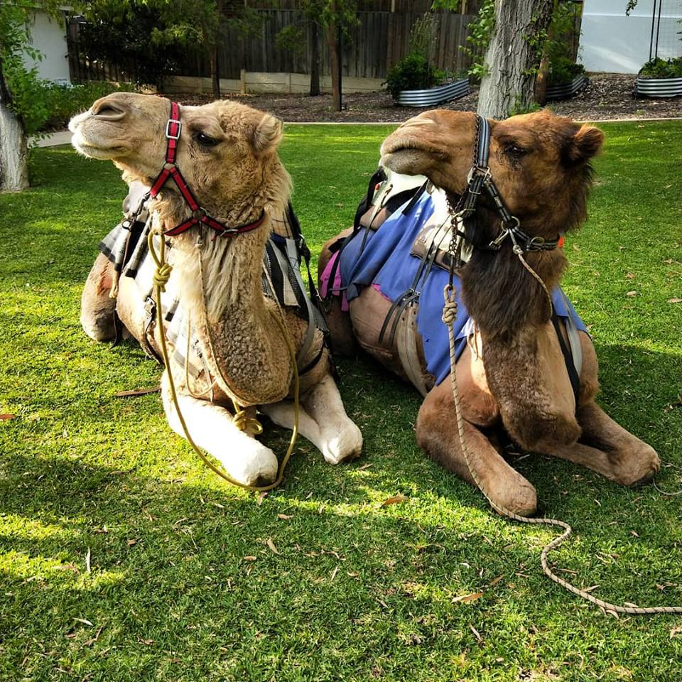 Kalbarri_Calamunda_Camels (4)