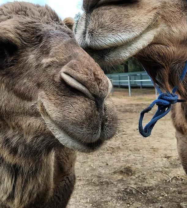 Kalbarri_Calamunda_Camels (15)
