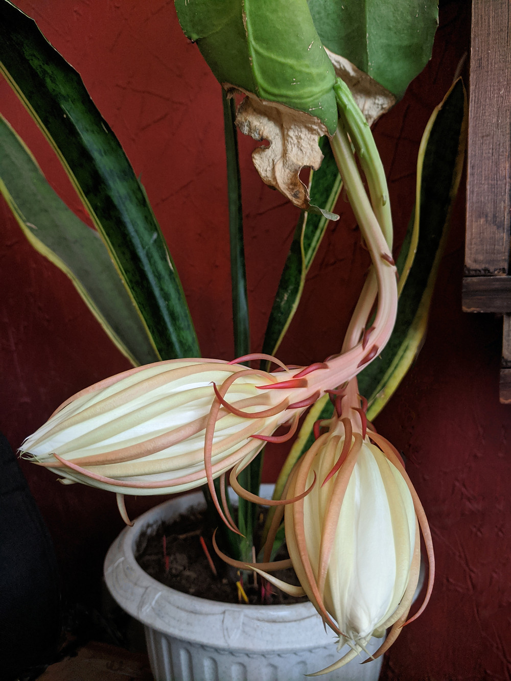 The bulging buds of the queen of the night at 6PM the day she bloomed
