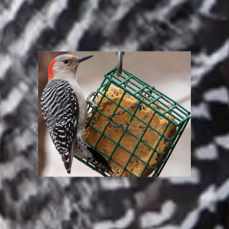 """A side-eye glancing bird is all like, """"don't you touch my suet..."""" while clinging to the side of the cage that someone put there for the bird, but the bird has had experience with this before, and knows that you don't get something for nothing..."""