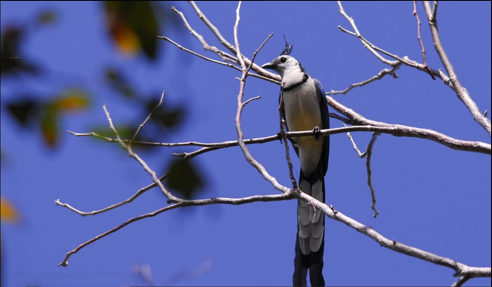 A slender, long bird with a blue back and white belly and under-feathers on its tail. It has a few feathers sticking up from its head like a mohawk or cowlick.