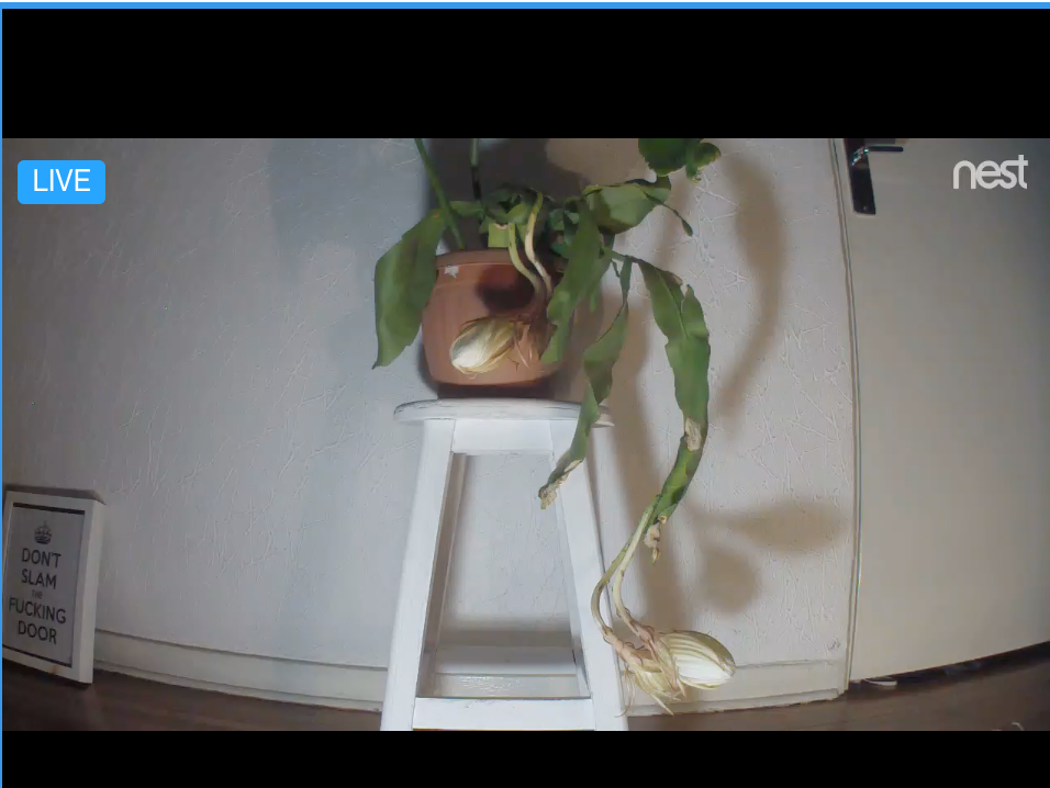 still from the live feed of my queen of the night cactus orchid blooming: the potted plant is sitting on top of a white wooden stool. The leaves are long, narrow, and thin, like sword blades. The flowers are partially open. The smell is like magnolia and gardenia. (smell not included with original photo)