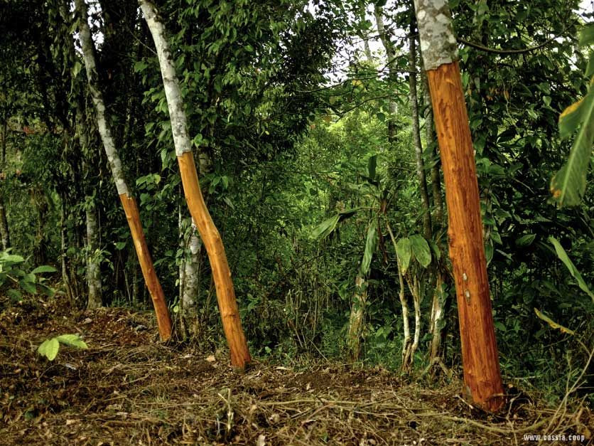 Cinnamon trees that have been harvested, naked from the waste down.