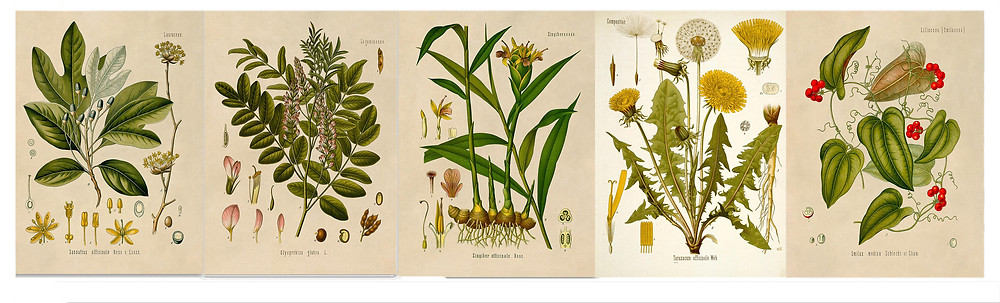 Botanical drawings of all the roots in this beer: Sarsaparilla, Sasafras, Ginger, Dandelion, and Licorice